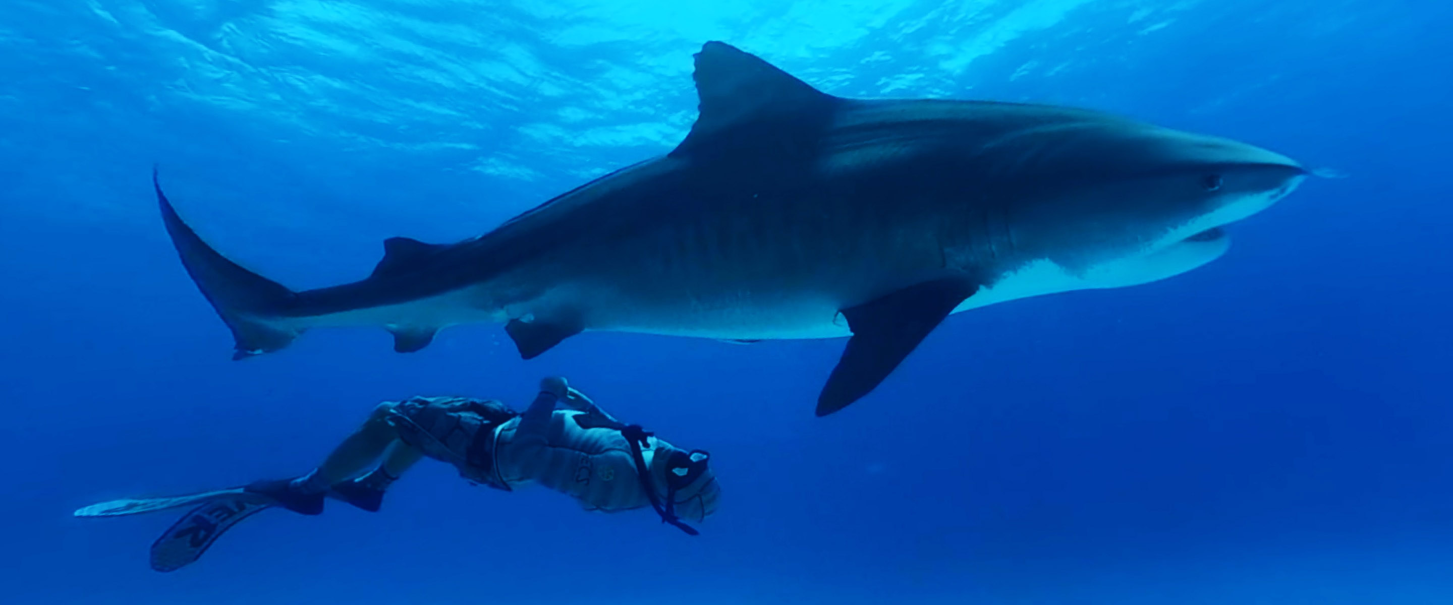 VR gets up close and personal with Tiger Sharks